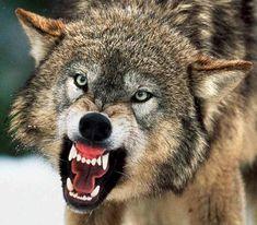 http://lostinasupermarket.com/wp-content/uploads/2010/10/wolf-attack2.jpg