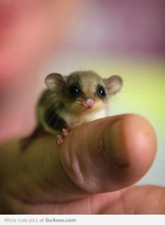 Darling little Baby Sugar Glider... the cutest thing I've seen all day.