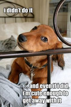 Hey, that's the same thing I've been saying for 27 years! :) #dachshund #dog #cute #puppy #animals #pets #lol #funny
