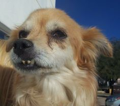 This little sweetheart is Tootsie, a charming 12 year old senior. She found herself at PACC after her family left her there because they were moving. It's hard to understand how anyone can do that to their elderly dog. She was rescued by HOPE,...