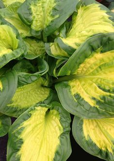 Proven Winners - Shadowland® 'Etched Glass' - Hosta hybrid white plant details, information and resources. Shade Garden, Green Garden, Lawn And Garden, Garden Plants, Etched Glass, Glass Etching, Hosta Gardens, Water Gardens, Shade Tolerant Plants