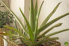 Harilik aaloe (Aloe vera) on tuntud oma jahutavate ning nahka taastavate omaduste poolest. Siin on imelihtne õpetus, kuidas valmistada päikesepõletust leevendavat geeli.