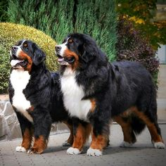 Terrific Snap Shots bernese mountain dogs videos Thoughts More than years, the actual Bernese Mountain / hill Doggy has become a 2010 foundation with park lifeti Cute Dogs Breeds, Cute Dogs And Puppies, Baby Dogs, Pet Dogs, Doggies, Bermese Mountain Dog, Bernese Dog, Tier Fotos, Cute Baby Animals