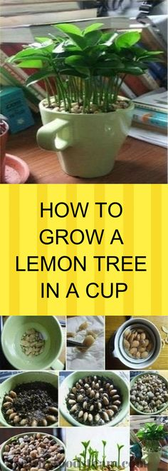 If you are one of the many lemon lovers, or just another crazy garden lover, we bet that you will find this article amazing. Believe it or not you can now grow a lemon tree in a cup! How To Grow Lemon, Lemon Seeds, Garden Trees, Porch Garden, Garden Care, Growing Plants, Plant Based Recipes, Food Hacks, Food Tips