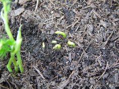 Foto: Die ersten Erbsensamen :) / © Der grüne Mami Blog