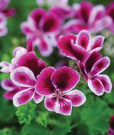 Geranium, Angel's Perfume,