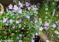 A Primula malacoides e uma Herbácea, pertence à família Primulaceae, nativa de…