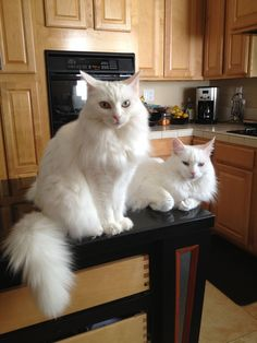New cats white angora Ideas Cute Cats And Kittens, I Love Cats, Crazy Cats, Cool Cats, Kittens Cutest, Turkish Van Cats, Turkish Angora Cat, Angora Cats, Pretty Cats