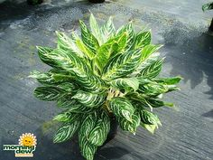 Plant Selections - interior plant service baltimore interior office tropical service - Interior Plantscape and Maintenance in the Baltimore Metropolitan area Princess Painting, Jewel Orchid, Silver Bay, Commercial Landscaping, Dendrobium Orchids, Dish Garden, Best Indoor Plants, Office Plants, Interior Plants
