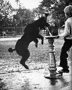 Jumping standard poodle drinking from water fountain!