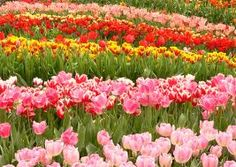 tulipanes - Buscar con Google