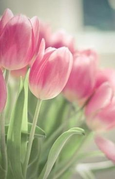 Pink tulips by nadine