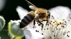 Bee placed on endangered list after US habitat loss