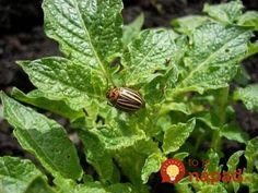 Pochutnáva si na vašich zemiakoch? Záhradkárka radí pridať do záhonov túto vec, pásavka tú vôňu nemôže vystáť! Plant Leaves, Plants, Gardening, Composters, Garten, Planters, Lawn And Garden, Garden, Plant