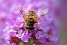 Hymenoptera Honeybee