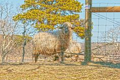 Sheep Photography, Animal Photography, Cape Cod Photo, Farm Animal Photo, Sheep, Bray Farm, Dennis, Massachusetts Wall Art, Home Decor, by Fotograffa on Etsy