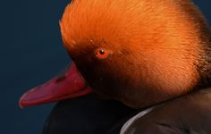Red Crested Pochard | by Alex_Appleby