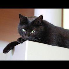 """""""Ich beobachte dich!"""" """"I'm watching you!"""" #haku #katze #kater #schwarzekatze #schwarzerkater #cat #cats #blackcat #tier #animal #чёрныйкот #кот #ねこ #ネコ #黒猫 #くろねこ #猫 #黒 #schwarz #black #catsofinstagram #beobachten #watching #suveillancecihome.de2016/02/28 04:30:26"""