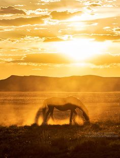 Two for One...Another shot taken of the Onaqui wild horse herd in the West Desert of Utah a couple nights ago. I love the shadow created in the dust by the horse. A nice surprise! ‪#‎horses‬ ‪#‎wildhorse‬ ‪#‎Utah‬ ‪#‎sunset‬ www.davidcschultz.com