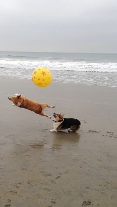 WOW what a shot!!!  The Extraordinary Adventures of Cuddles, the Pembroke Welsh Corgi (of Cuddles-n-Dena fame) - from Corgi Nation's California Beach Day