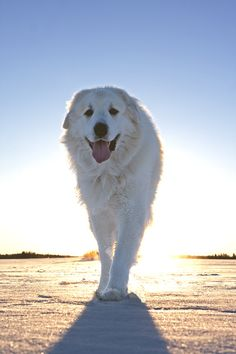 Great Pyrenees, I have always wanted one of these beauties!