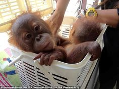 Thai police rescued two baby orangutans in a sting operation after undercover officers arranged to buy the primates over a mobile phone messaging app from wildlife traffickers for nearly $20,000