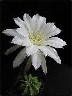 ✯ Echinopsis Subdenudata