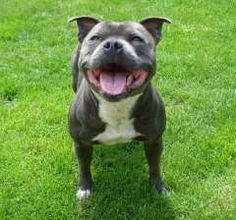 Blue Staffordshire Bull Terrier - Just look at that happy lil face, I just wanna squish it while I talk like an idiot and tell him how cute he is!!!