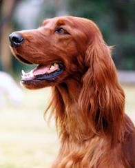 Irish Setter--this one looks a LOT like our Fergie...