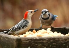 Flyways and Byways: A red-breasted woodpecker and blue jay compete for backyard feeder treats.