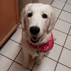 Yeah give me that chicken and mushroom Ma!    #englishcreamgoldenretriever   #goldenretriever   #goldenretrieverofinstagram   #dogofinstagram   #dogofig   #dog  #lunch  #happytuesday   #happytummy  #lunchtime  #instafamous   #cute