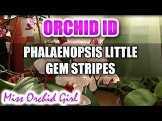 Phalaenopsis Little Gem Stripes Orchid - YouTube