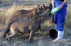 baby rhinos having a snack