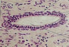 STRATIFIED CUBOIDAL EPITHELIUM. rule: identify stratified tissues by the final cell shape on apical side!