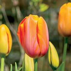 """Spring Tulip Guide 