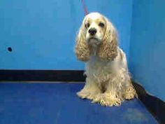 JUNY is an adoptable Cocker Spaniel Dog in New York, NY.  ...