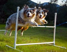 Australian Shepherd Photo of the Month — Photo: Mark Brownton, Aussies: Cooper and Bailey