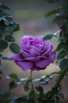 Pretty picture. Amazing Flowers, My Flower, Beautiful Roses, Colorful Flowers, Beautiful Gardens, Beautiful Flowers, Lavender Roses, White Roses, Purple Flowers