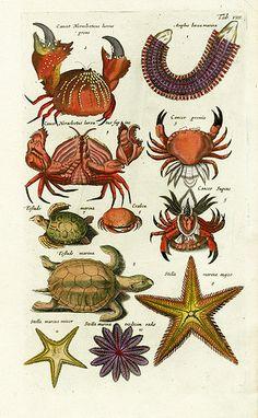 Johnston Merian Historiae Naturalis 1657