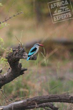 Botswanan eläimet Blue Jay, Safari, Animals, Animales, Animaux, Animal, Animais