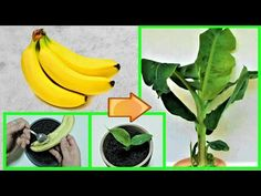 Best 12 Tutorial And Tips How To Grow Banana Plants Both Indoors and Outdoor –. Best 12 Tutorial ABanane ziehen - Garden Design And Home DecorBest 12 Proper gardening will save you a lot of time and money. Take a look at Best 12 Proper gBest 11 How Vegetable Garden Design, Veg Garden, Fruit Garden, Edible Garden, Garden Plants, Garden Bags, Dwarf Fruit Trees, Growing Fruit Trees, Fast Growing Plants