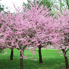 Redbud...Flowers get lots of press, but plenty of trees offer springtime feasts for the eyes. One of them is the eastern redbud, a tree that puts on a riotous display of pink beginning in March