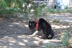Chained Dog Was So Broken She Couldn't Even Lift Her Head