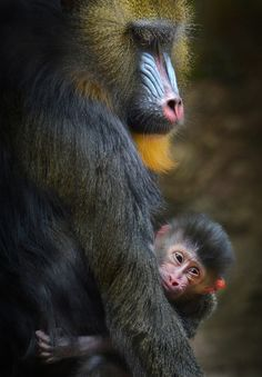 New Addition | A one day old mandrill is comforted by his mother at the San Diego Zoo. It is the first mandrill born at the zoo since 2012 (source)