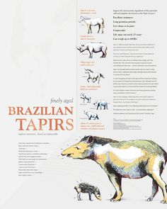 UHGAP & Houston Zoo, Brazilian Tapir - Michael Edwards