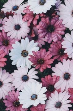Pink + white daisies