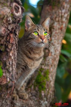 Such a gorgeous green-eyed brown tabby in a tree. Cute Cats And Kittens, Cool Cats, Beautiful Cats, Animals Beautiful, Animals And Pets, Cute Animals, Chat Maine Coon, Newborn Kittens, Kitten Care