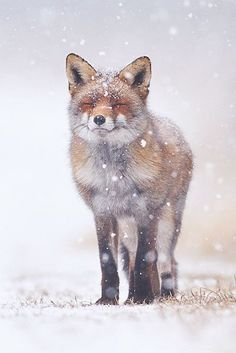 Pim Leijen is an professional nature photographer from The Netherlands, who shoots a lot of wildlife, landscape and animal photography. Nature Animals, Animals And Pets, Baby Animals, Funny Animals, Cute Animals, Animals In Snow, Wild Animals, Beautiful Creatures, Animals Beautiful