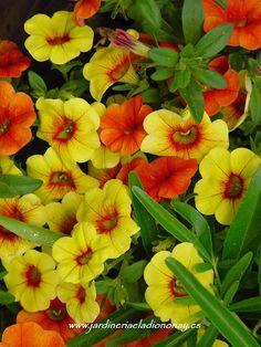 Jardineria Eladio Nonay: CALIBRACHOA HYBRIDA (Jardinería Eladio Nonay)