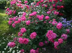 Pink Double Knock Out® Rose (Rosa x 'Radtkopink'). A maintenance-free rose that continually produces self-cleaning bright pink double flowers with a slight spicy fragrance. Unsurpassed resistance to black spot and downy mildew leaf diseases.  With superior drought tolerance once established.